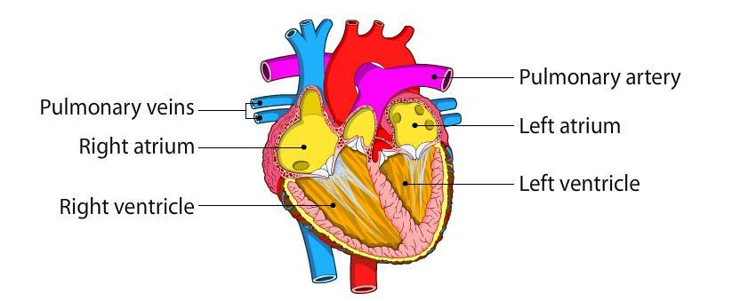What does the circulatory system consist of give the main function the heart has four chambers two atria and two ventricles right atrium ra receives the deoxygenated oxygen depleted blood from the body and pumps it to ccuart Image collections