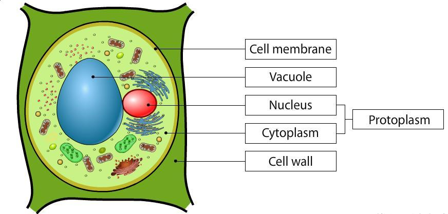 Draw A Well Labeled Diagram Of A Plant Cell And Label The Parts Of