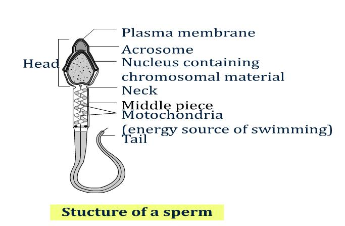 Pity, Definition or description of sperm cells