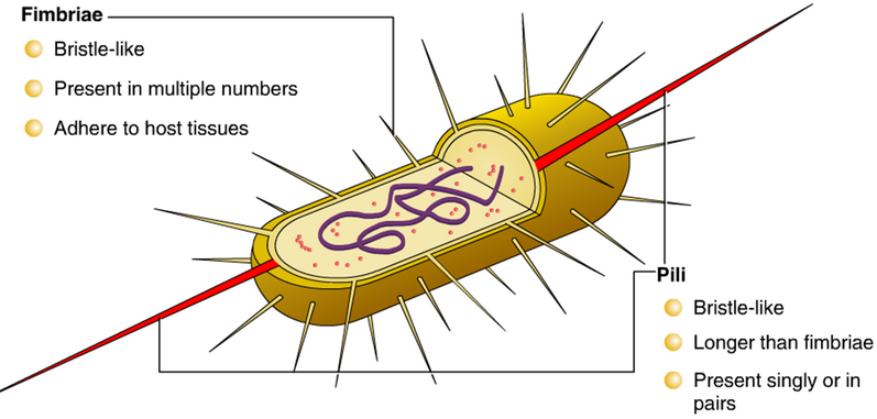 Pili and Fimbriae. Cell: The Unit of Life-Biology-Class-11