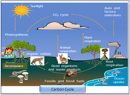 Give a neat labelled diagram of carbon cycle mineral nutrition carbon cycle ccuart