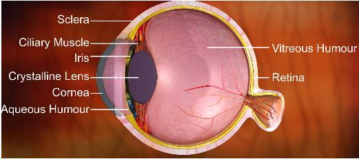 Explain the human eye with the diagram and functions of its parts explain the human eye with the diagram and functions of its parts ccuart Image collections