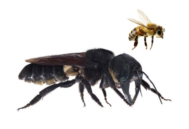 World's largest bee spotted for the first time since 1981