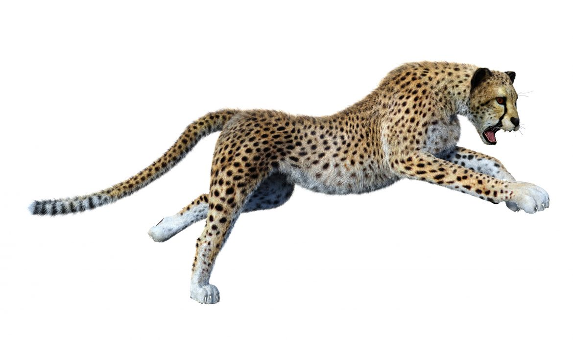 Supreme Court allows introduction of African cheetah to India