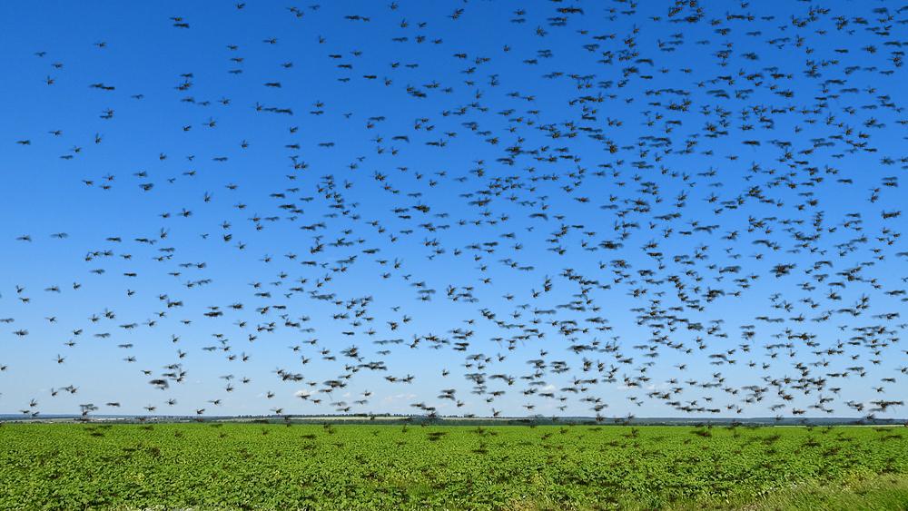 North India comes under severe locust attack