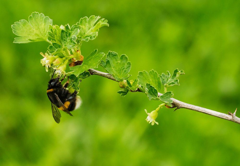Bumblebees speed up flowering in unique way